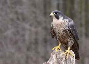 Peregrine Falcon, That's a Birdie! - Getty Images
